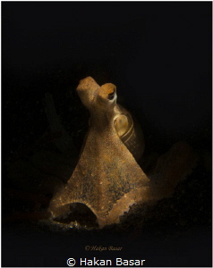 Long Arm Octopus - Lembeh Strait by Hakan Basar